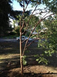 oakbrook-paperbark
